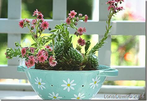 Succulent_Redcobweb_HensChicks