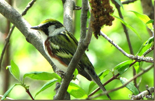 Chestnut-sided Warbler (6)