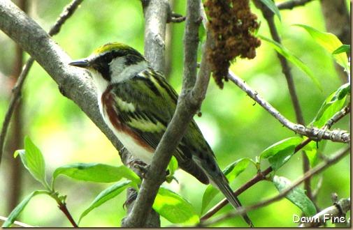 Chestnut-sided Warbler (6)