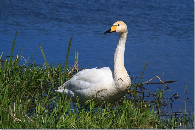 Lakenheath_Whooper-1