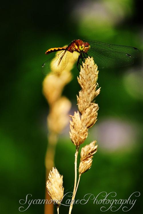 dragonfly-1-w