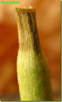 Pedilanthus secco quasi