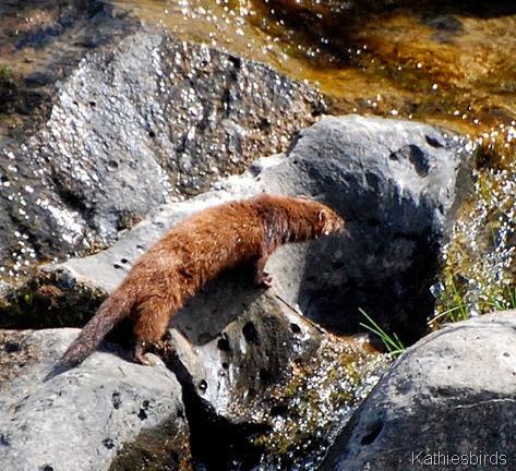 17. weasel-kab