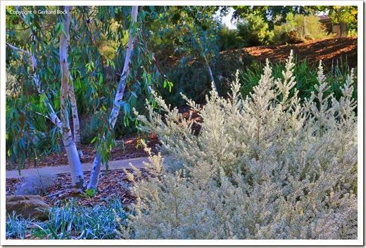 131124_UCD_Arboretum_AustralianCollection_Westringia-fruticosa-Smokie_04