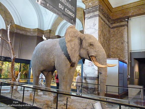 elefante-disecado-en-el-museo-de-tervuren.JPG