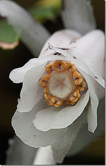 Indian_Pipe2