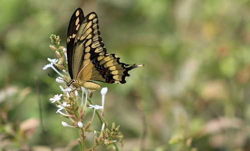 NBC Swallowtail 2013