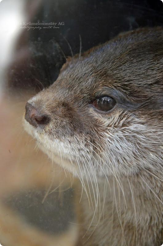 Wremen 29.07.14 Zoo am Meer Bremerhaven 30 Zwergotter