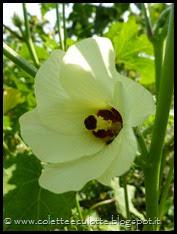 Abelmoschus esculentus (Okra o Gombo) (27)