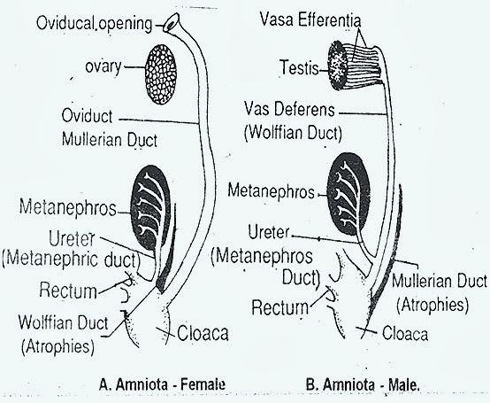 excretory-organs-amnito-reptile-bird-mammal