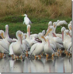 DSC07569 w pelican and egret