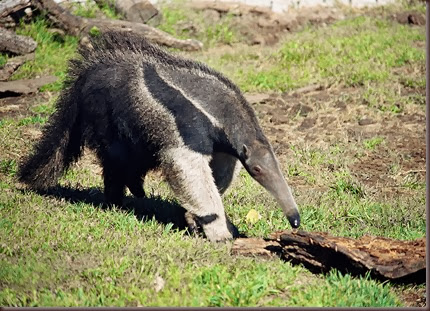 Amazing Animals Pictures Anteater (2)