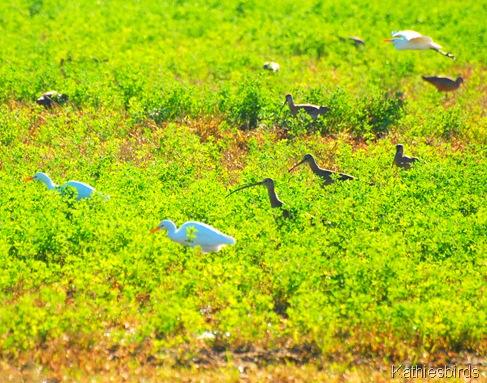 11. egrets n curlews-kab