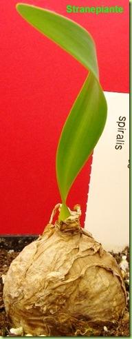 Cyrtanthus spiralis