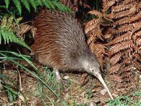 Amazing Pictures of Animals, Photo, Nature, Incredibel, Funny, Zoo, Apteryx, Kiwis, Bird, Aves, Alex (15)