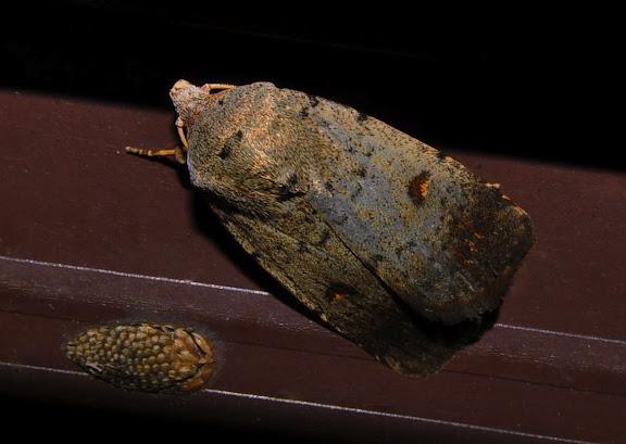 Noctuidae : Heliothinae : Helicoverpa punctigera WALLENGREN, 1860. Umina Beach (NSW, Australie), 26 octobre 2011. Photo : Barbara Kedzierski