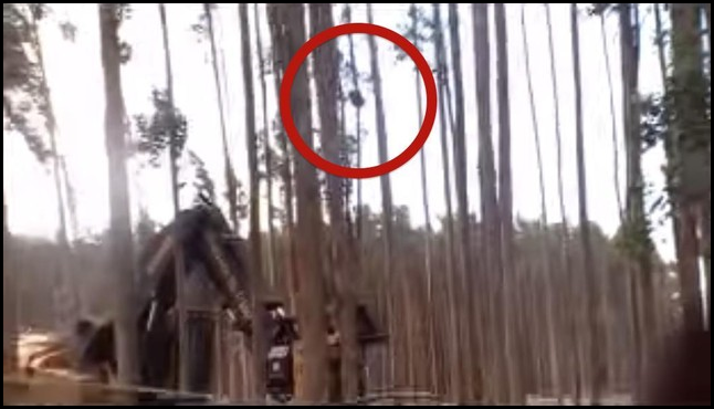 A distressing new video shows a gum tree being felled by loggers while a koala and her baby are still clinging to it. Late January 2015: Mother koala and baby in a bluegum plantation near Bessiebelle in South West Victoria. The plantation is owned by Australian Bluegum Plantations. The Contractors are C3 Australia. The plantation is certified by Forest Stewardship Council. Hundreds of koalas are reported to be living in plantations in the local area. How many more will be injured or killed? Photo: Anthony Amis / YouTube