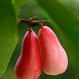 rose apple by Abdul Munafri - Nature Up Close Gardens & Produce