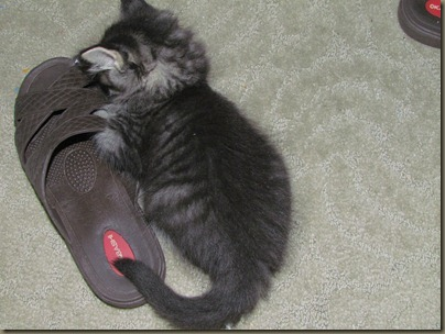 kitten with shoe