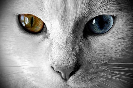Heterochromia in Cats blue
