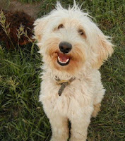 Adorable Labradoodle creamy gold Sky Tabernash.