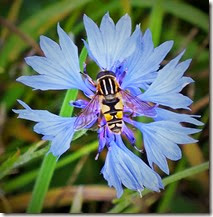 Helophilus prob pendulus hover-fly Sept 2014