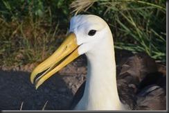 Albatross close up