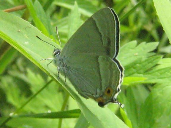 Chrysozephyrus smaragdinus BREMER, 1861. Anutchino (Primorskij Kraj), 2 juillet 2011. Photo : G. Charet