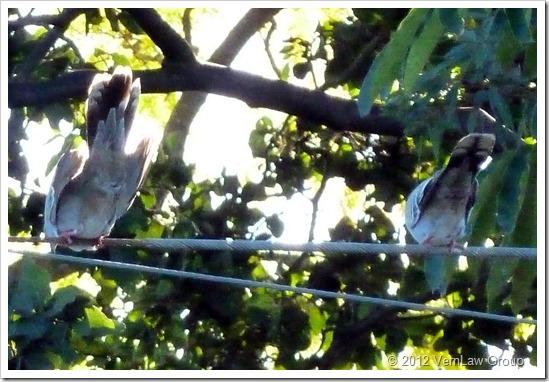 PigeonsP1030885