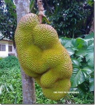 Aneh Nangka madu dukung anak - buah-buah berbentuk aneh 2 (1)