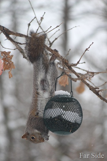 Squirrel stealing seeds March 14