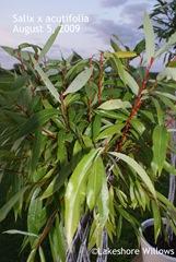 Harlequin acutifolia foliage Aug 5, 09