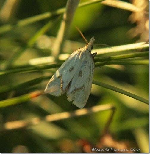 9-Common-Yellow-Conch-Agapeta-hamana