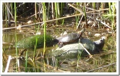 20120518_turtles_002