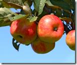[Hanging fruit]