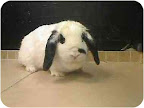 Bunnies should live indoors and be doted on like other family companion animals. Sweet mini lop Madeline is spayed and ready to hop into a permanent loving home.