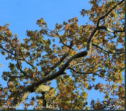 14-Oak-and-blue-sky