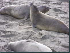 Elephant Seals 2012 005