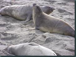 Elephant Seals 2012 005