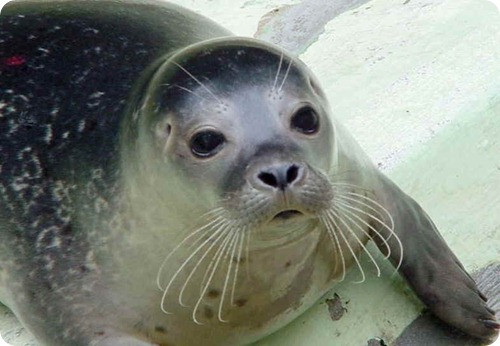 foca monje