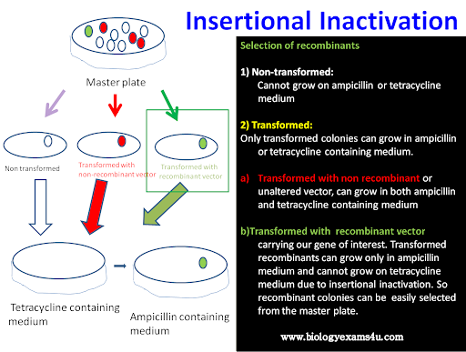 Insertional Inactivation in pBR322 ~ Biology Exams 4 U
