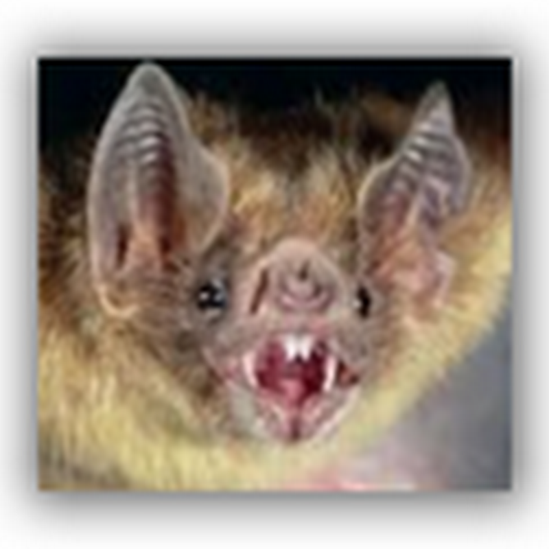 Bat Infestation Closes Hospital in North Carolina- Bats in the Belfry?