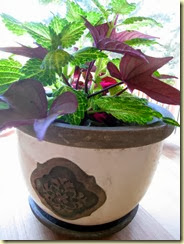 nice pot with coleus