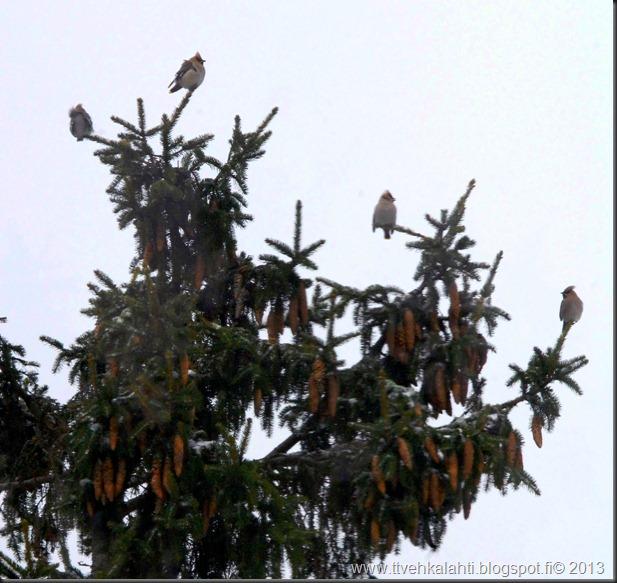 tilhe linnut kylpee keltasirkut 004