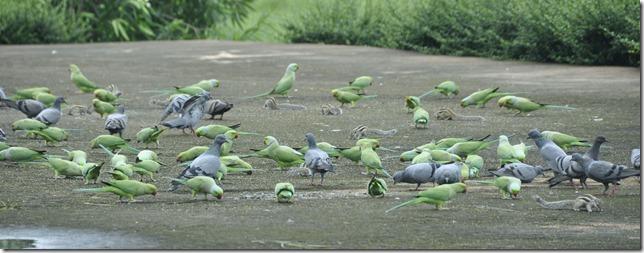 orchha 037 pigeons, perroquets, ecureuills