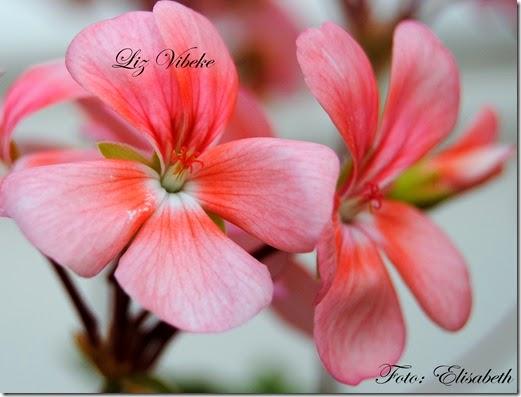 Pelargonium 23 juli, Liz vibeke 001