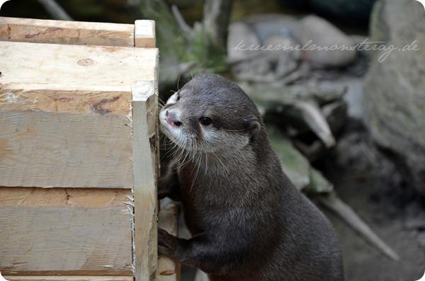 Wremen 20zwölf Tag 6 Zoo am Meer - Otter (3)