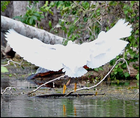 08 - Animals - Snowy Egret 2