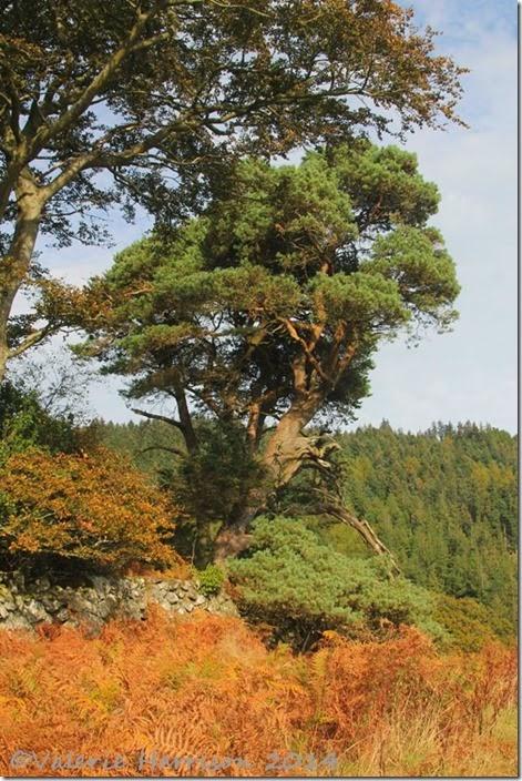 10-scots-pine