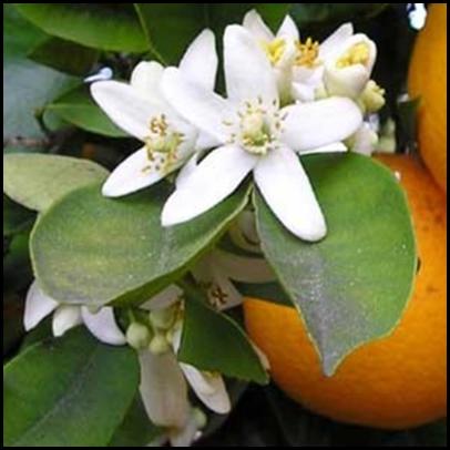 neroli blossom